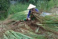 Nông dân phá bỏ vườn sả vì giá chỉ còn 2.000 đồng một kg