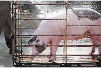 Nhân viên CP Việt Nam kênh giá thịt heo chiếm đoạt 3,6 tỷ đồng