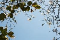 Dịu dàng mùa hoa ban về phố