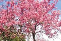 Lễ hội Hoa anh đào Hạ Long 2014 sẽ được tổ chức vào tháng 3