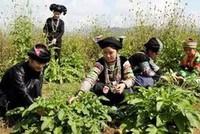 Hàn Quốc muốn đầu tư trồng dược liệu tại Cao Bằng