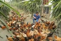 Bỏ công việc lương cao, lên núi lập trang trại nuôi gà Lạc Thủy