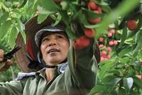 Bảo hiểm nông nghiệp, vẫn còn nhiều khó khăn để mở rộng
