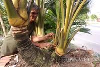 Dừa 7 đọt trái sum sê giá hàng trăm triệu đồng ở miền Tây