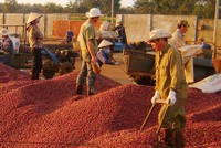 Chè, cà phê, cao su đã đem về hơn 5,1 tỷ USD