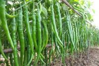 'Anh em nhà Samsung' chi triệu USD trồng ớt ở Việt Nam
