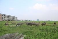 Kiếm trăm triệu nhờ nuôi trâu, thả bò… trong khu biệt thự bỏ hoang Kim Chung - Di Trạch