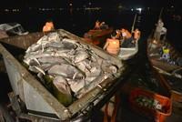 Xuyên đêm giải cứu cá hồ Tây