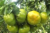 Thoát nghèo nhờ trồng quýt sạch