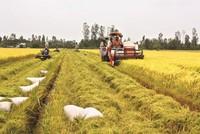 Giá lúa đồng bằng sông Cửu Long giảm mạnh