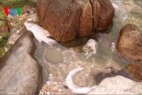 Người dân Hà Tĩnh hoang mang vì cá chết hàng loạt dạt vào bờ biển