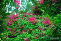 Rực hồng mùa tigon núi Sam