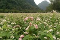 Vườn hoa tam giác mạch đầu tiên ở Ninh Bình