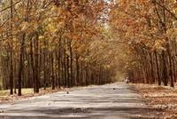 Đẹp ngỡ ngàng Tây Nguyên mùa lá rụng