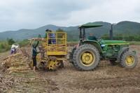Thu lãi tiền tỷ mỗi vụ nhờ trồng mía trên cánh đồng mẫu lớn