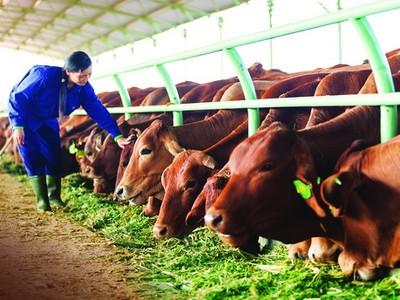 Quý I, doanh thu HNG giảm hơn 810 tỷ đồng chủ yếu do tiêu thụ bò giảm