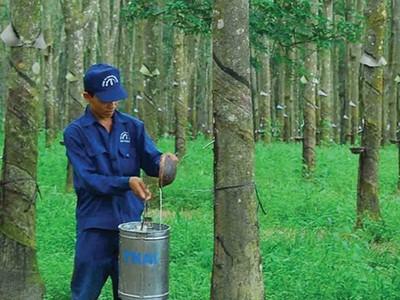 Cao su Đồng Phú (DPR) tạm ứng cổ tức 10% bằng tiền mặt