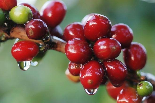 Cà phê Thương Phú (CTP): Cổ phiếu giảm sàn liên tiếp, Chủ tịch đăng ký mua vào