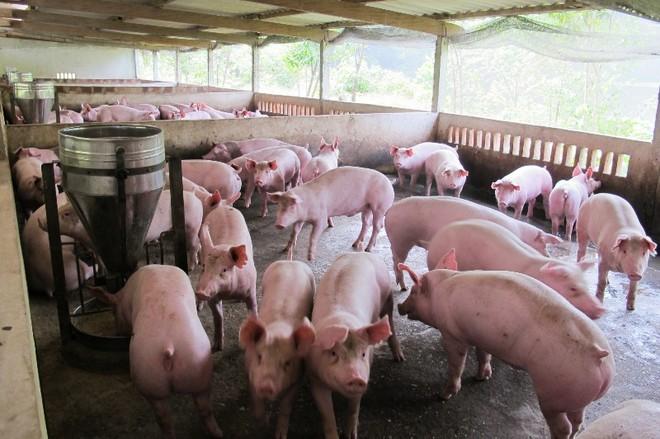 Nên phạt tù người sử dụng chất cấm trong chăn nuôi