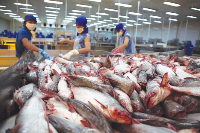 Nguy cơ phải thay đổi quy trình sản xuất, chế biến cá tra
