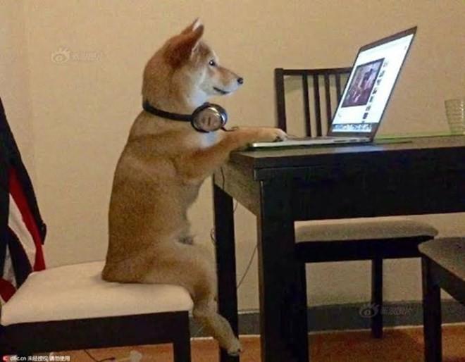 Chó Shiba gây sốt với dáng ngồi xem tivi giống hệt con người