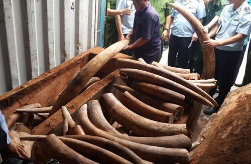 Xem xét khởi tố vụ vận chuyển trái phép ngà voi