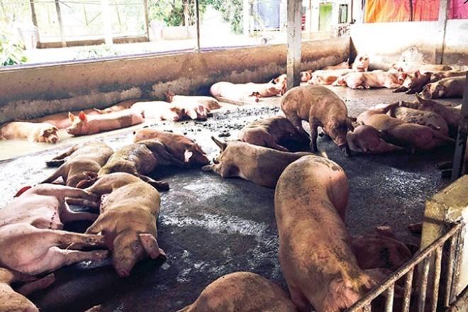 Thủ đoạn mới đưa chất cấm có chất Sabutamol vào nuôi lợn