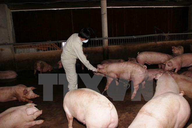 Bộ Y tế báo cáo khẩn về nhập khẩu chất tạo nạc Salbutamol