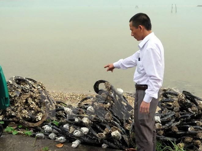 Chất lượng hàu nuôi bằng lốp cao su ở Lăng Cô vẫn đảm bảo các tiêu chí an toàn thực phẩm