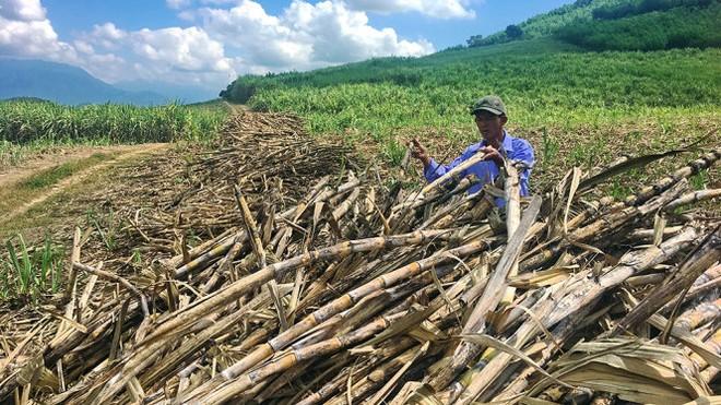 Hàng ngàn tấn mía chờ 'vệ sinh nhà máy' đường Khánh Hòa